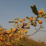 こんな黄色いボンボンの付いた木も発見。